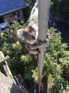 Koalas in Mallacoota